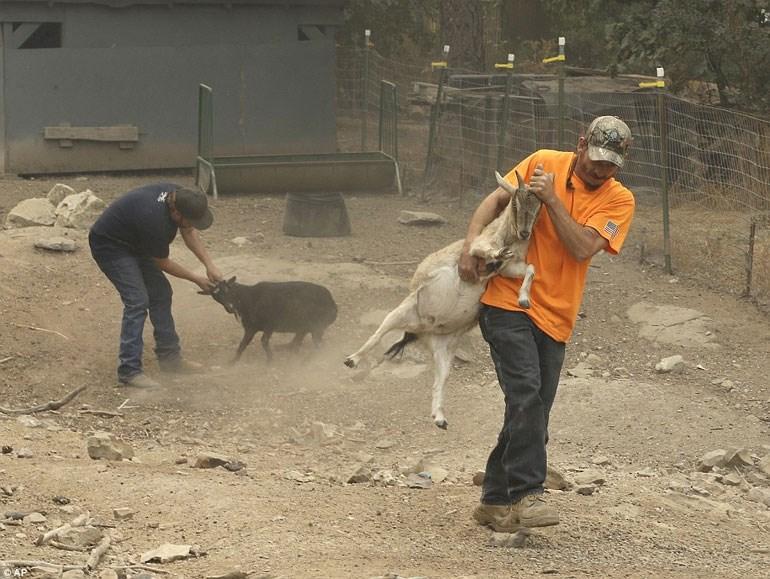 Κτηνοτρόφοι απομακρύνουν άρον άρον τα ζώα τους
