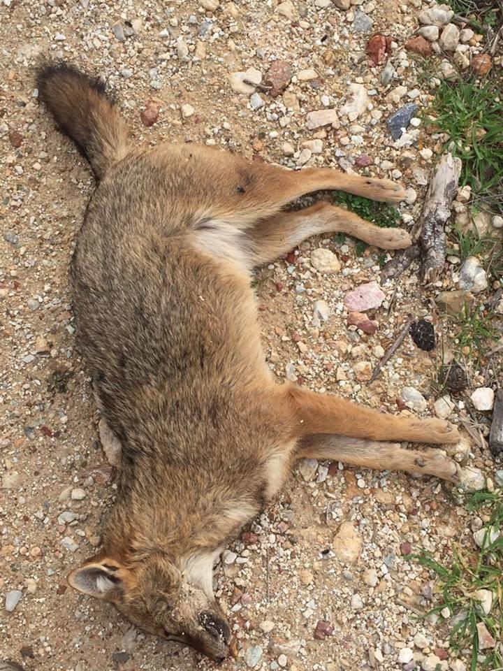 Ανεύρεση νεκρής αλεπούς στην Πάρνηθα