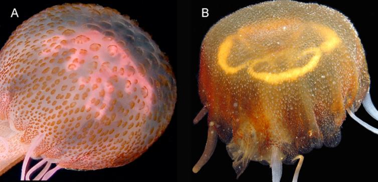 Αριστερά η Pelagia Noctulica και δεξιά το νέο είδος