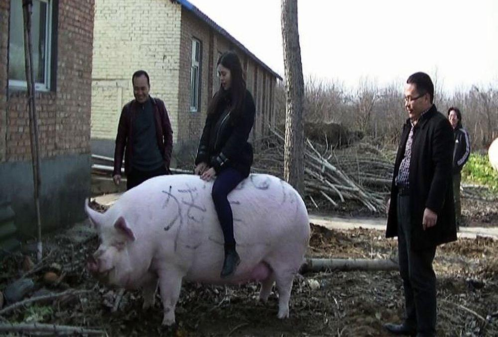 Γουρούνια με βάρος πολικής αρκούδας εκτρέφονται στην Κίνα